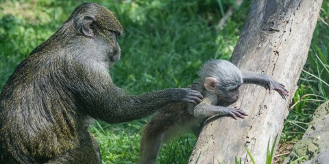 Swamp monkey plays as mother holds it back