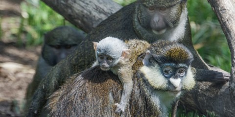 Swamp monkey makes friends with other species, Schmidt's Red-tailed Monkey