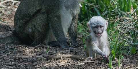 Swamp monkey baby makes a face