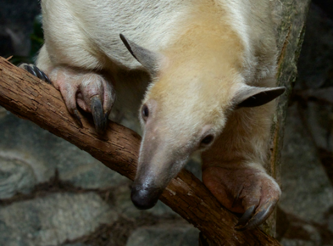 tamandua looks down