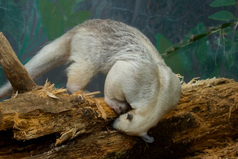 tamandua with nose in log