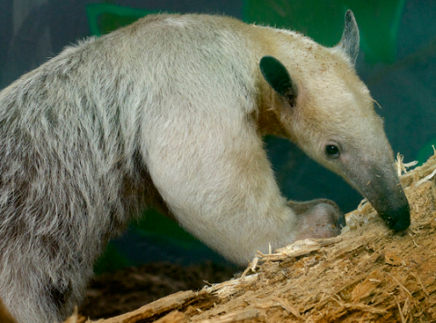 tamandua in profile