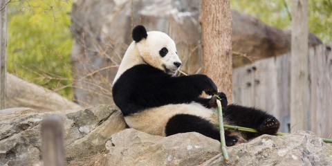 Giant panda Bao Bao sits and eats bamboo