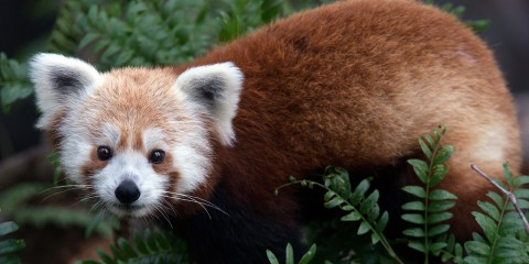 A red panda standing in a tree