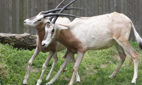 Two oryx with curved horns entwined
