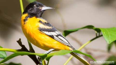 A Baltimore oriole with a sharp bill, bright chest feathers, and dark wing and head feathers perched on a thin, leafy branch