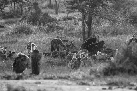 A black-and-white image of a large group of vultures and a cheetah feeding on the carcass of a giraffe in Africa. There are tall grasses, shrubs and trees in the background.
