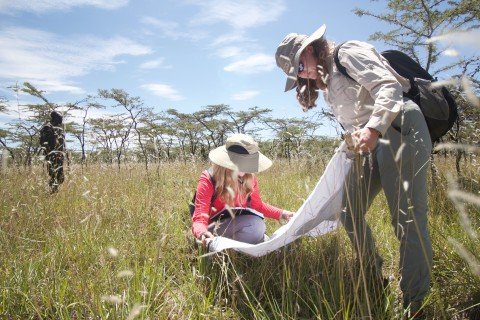 """George Mason University undergraduate Jessica Morris and graduate student Molly Corder examine a tick drag out net among tall grasses in """"the KLEE,"""" or the Kenya Long Term Exclusion Experiment site."""