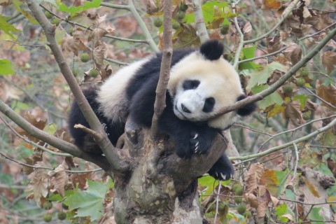 A young giant panda rests in a tree in China