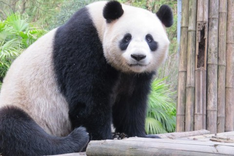 A giant panda rests on a bamboo structure at the Chengdu Research Center for Giant Panda Breeding in China