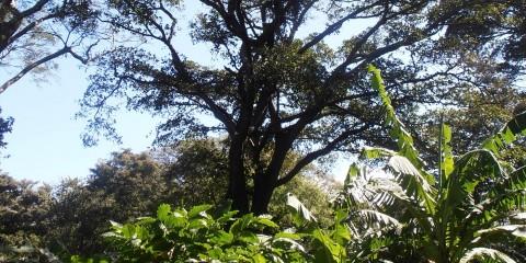 A fig tree