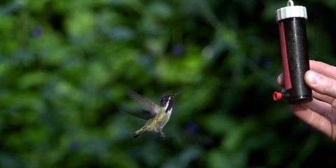 A hummingbird flying to a jar of nectar being held in the air