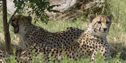 Cheetahs in shade