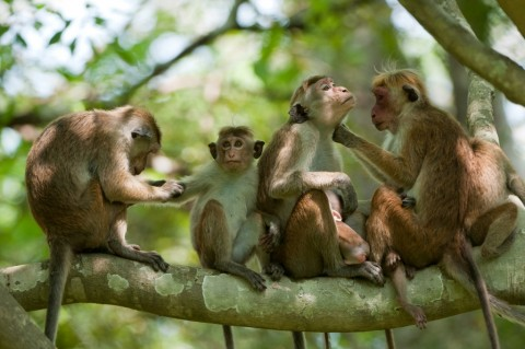 Macaque family grooming credit Barney Wilczak