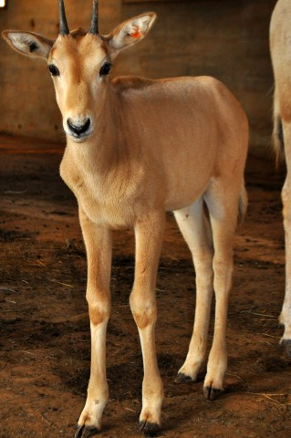 oryx calf with spiky horns