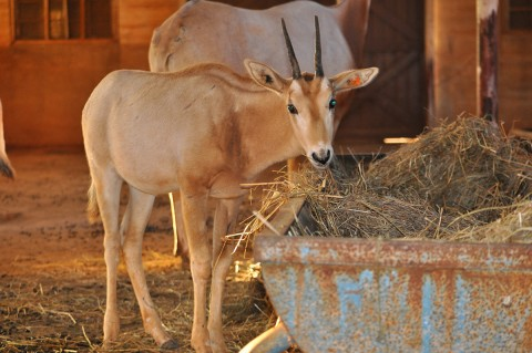young oryx with half-grown horns