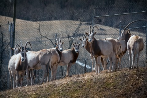 oryx herd on slope