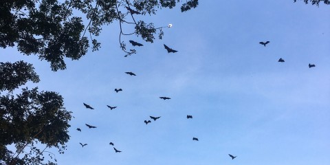 Bats flying in a blue sky over Myanmar