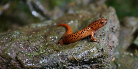 salamander on a rock