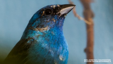 A small bird, called an indigo bunting, with blue feathers, round eyes and a short bill