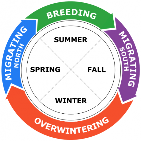 A circular chart demonstrating the annual cycle of a migratory bird: Migrating north, breeding, migrating south and overwintering during spring, summer, fall and winter