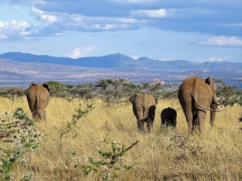 A herd of elephants with a few adults and a couple of young walk through tall grasses in Laikipia, Kenya. The elephants walk toward a grove of trees and mountains that can be seen in the background.