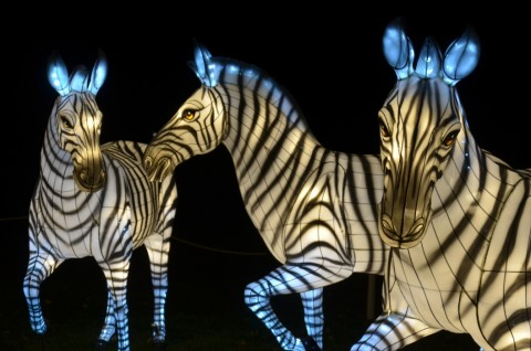 Three large zebra Chinese paper lanterns lit up at night