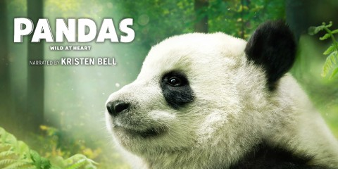 "A photo of a panda in a forest with the text ""Pandas. Wild At Heart. Narrated by Kristin Bell"""