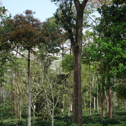 A bird friendly coffee farm with trees of various height that provide shade cover and habitat.