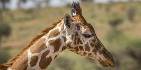 The head and neck of a giraffe wearing a GPS tracker