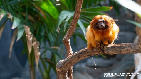 A small monkey, called golden lion tamarin, perched on a tree branch