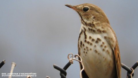 A small bird with light brown feathers and spots on its chest, round eyes and a short, thin, pointed bill