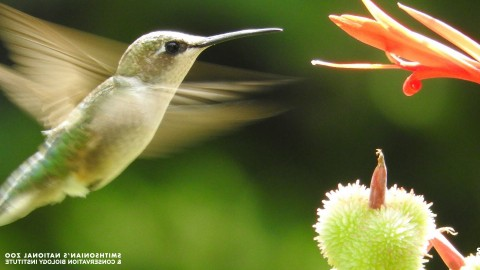 A hummingbird with wings in rapid motion and a long, pointed bill approaches a flower for nectar