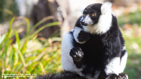 A black-and-white ruffed lemur with golden eyes, a short snout and tufts of fur around its face and ears