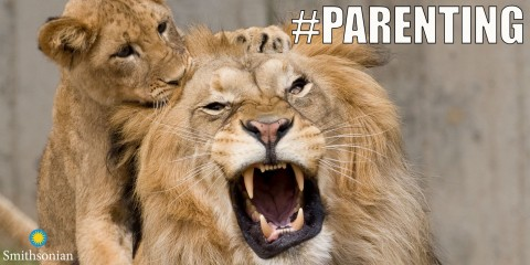 """A meme with a lion cub biting its father's head and the text """"#Parenting"""""""