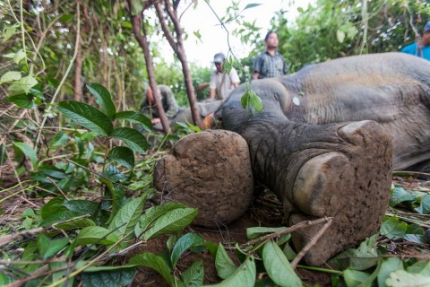 An adult Asian elephant lying down in a forest in Myanmar as researchers fit it with a satellite GPS collar and veterinarians monitor its health