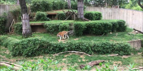 Amur tiger Pavel explores his yard.