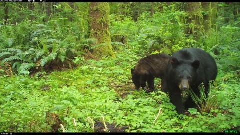 American black bear and cub in Washington State.