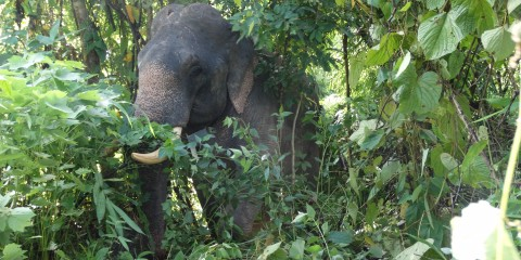 Asian elephant in a forested area of Myanmar