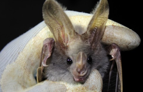 Smithsonian's Global Health Program scientists collect oral and rectal swabs from bats