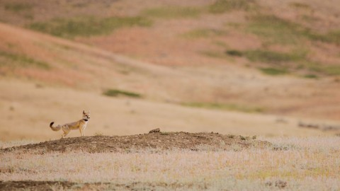 Reintroduced swift fox on grasslands of Montana