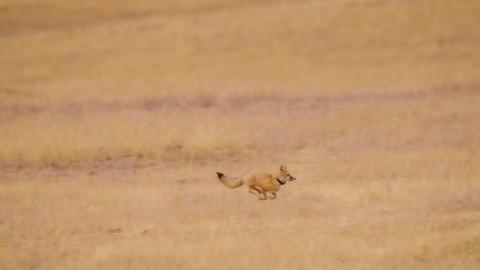 Reintroduced swift fox runs across grasslands post release.