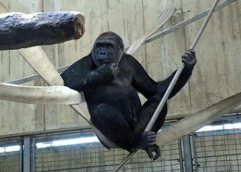 gorilla on swing