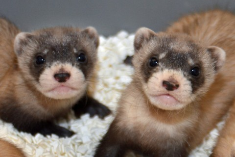 two masked ferrets