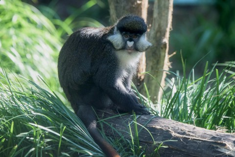 monkey with pale cheeks sitting on a log