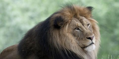 Luke Lion