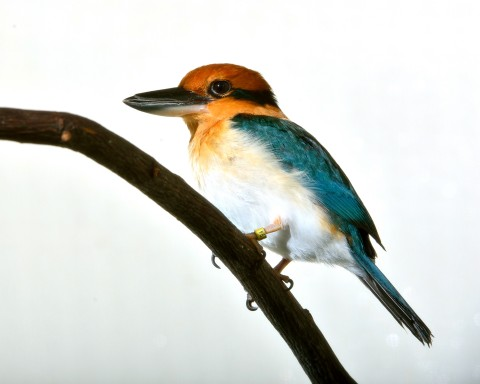 A Guam kingfisher with a large bill, short tail, yellow-orange head, white belly and blue back perched on a brancg