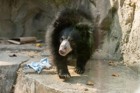Sloth bear Remi explores her habitat on Asia Trail.
