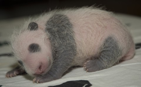 Giant panda Bei Bei as a cub sleeping on a blanket