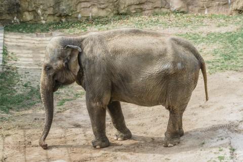 Asian elephant Kamala explores her habitat.
